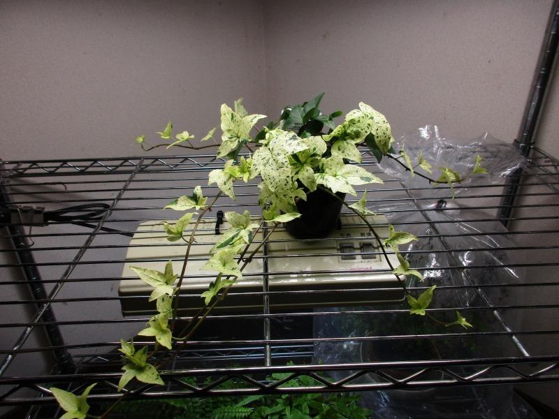 植物「白雪姫」_b0362459_20061058.jpg