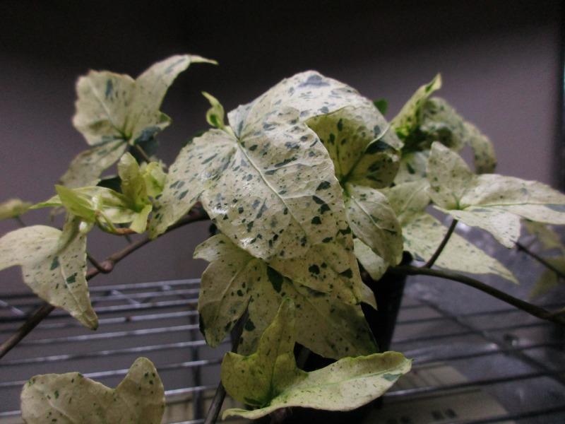 植物「白雪姫」_b0362459_20092206.jpg