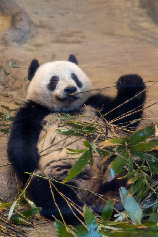 初めてのパンダ撮る_a0261169_23141381.jpg