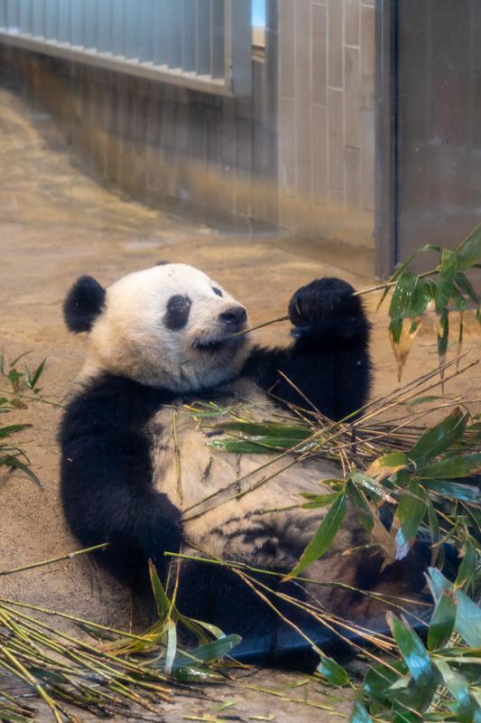 初めてのパンダ撮る_a0261169_23142649.jpg