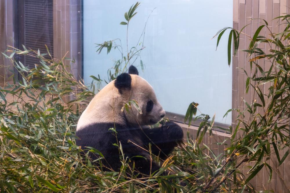 初めてのパンダ撮る_a0261169_23301596.jpg