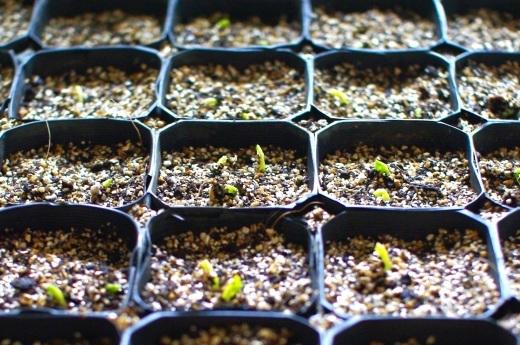スナップエンドウの発芽。水仙も出てきた。_c0110869_08360944.jpg