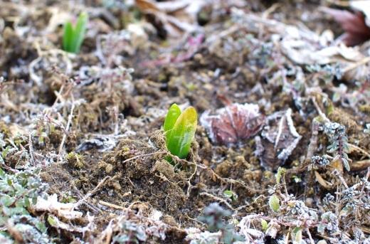スナップエンドウの発芽。水仙も出てきた。_c0110869_08361874.jpg