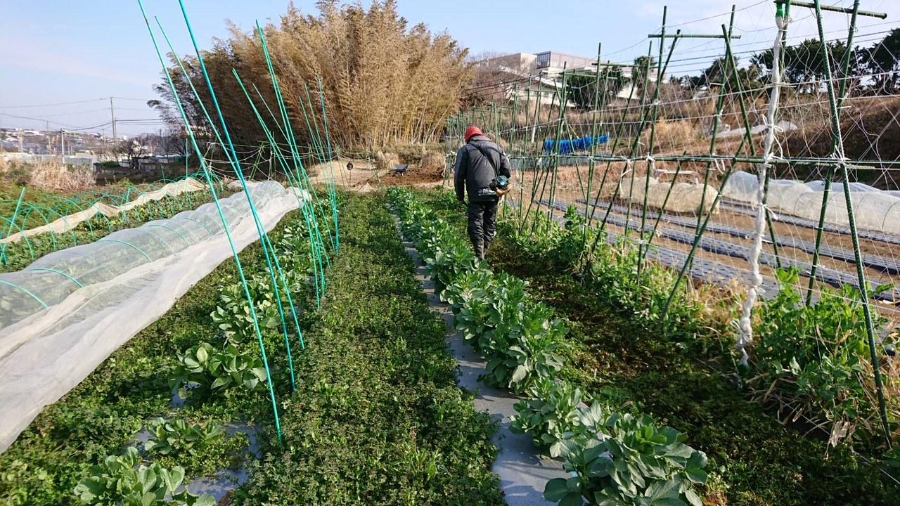 今朝は蚕豆の畝間に草刈り・・・_c0222448_15345953.jpg