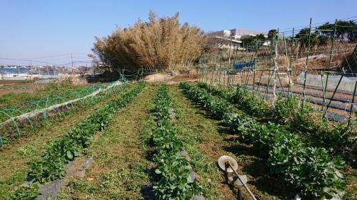 今朝は蚕豆の畝間に草刈り・・・_c0222448_15480468.jpg