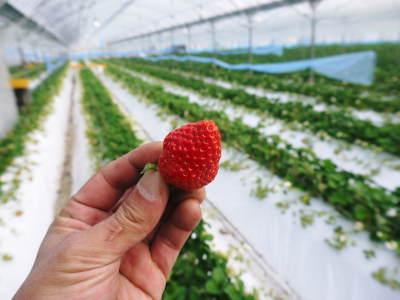 熊本限定栽培品種のイチゴ『熊紅(ゆうべに)』 大好評に付、は少々お待たせする場合がございます!_a0254656_17494632.jpg