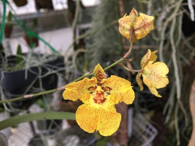 Full bloomed;Tolumnia. midas       _d0007501_19424404.jpg