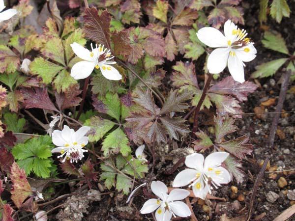 植物園 春の草花が咲き始めた_e0048413_20094238.jpg