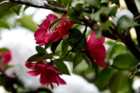 山茶花と椿_c0093046_14301835.jpg