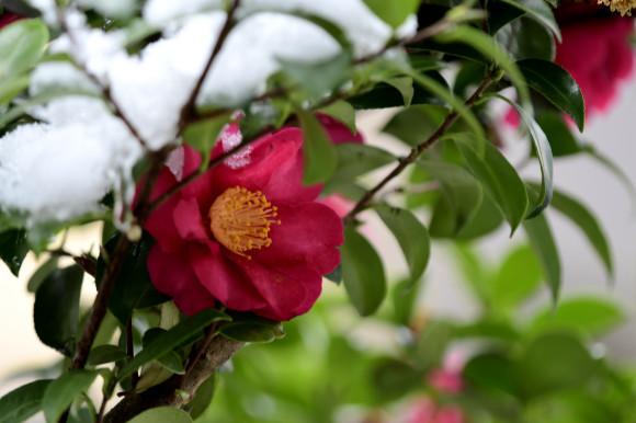 山茶花と椿_c0093046_14303590.jpg
