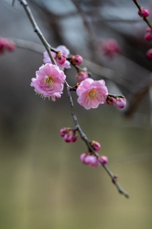 梅がキレイ_a0261169_20533055.jpg