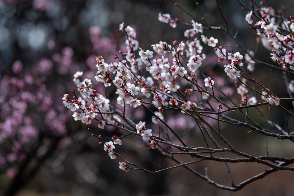 梅がキレイ_a0261169_20535302.jpg