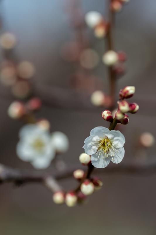 梅がキレイ_a0261169_20542129.jpg