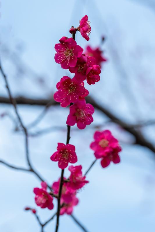梅がキレイ_a0261169_20543763.jpg