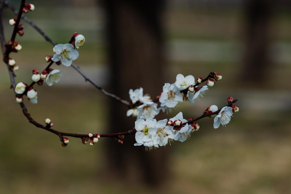 梅がキレイ_a0261169_20545078.jpg