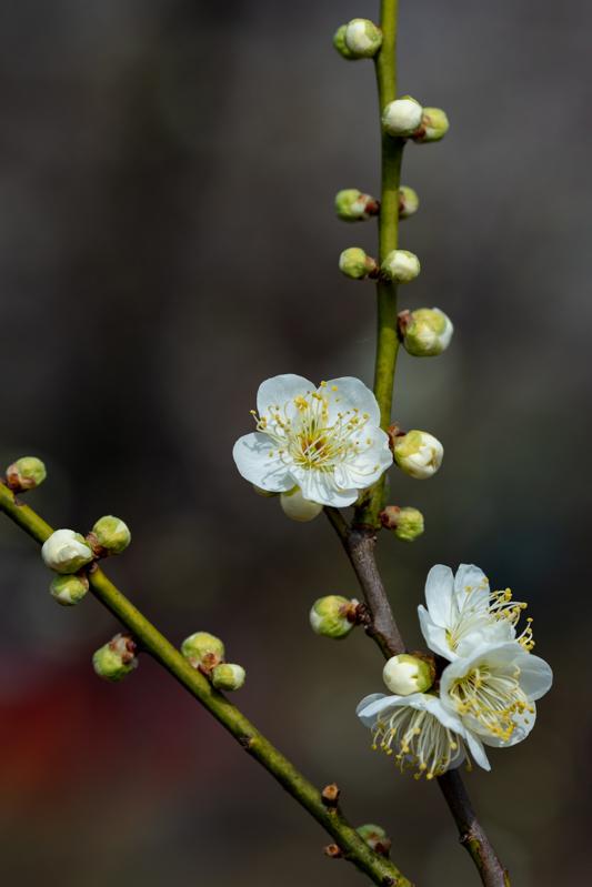 梅がキレイ_a0261169_20553914.jpg
