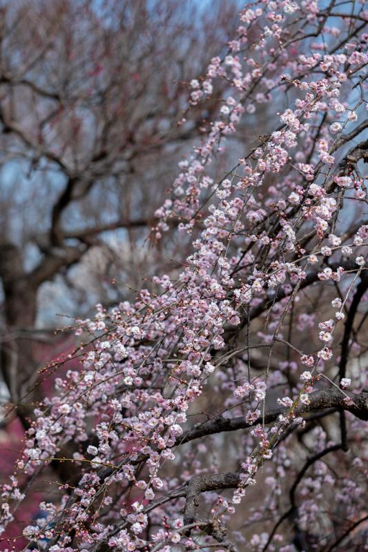 梅がキレイ_a0261169_20555477.jpg