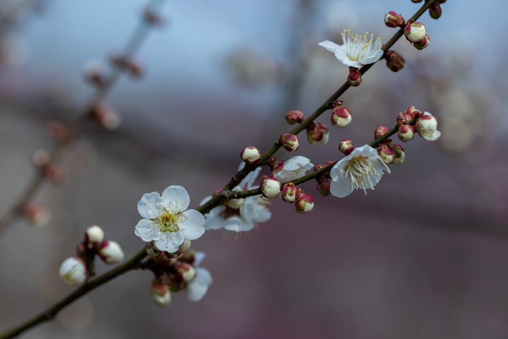 梅がキレイ_a0261169_20564435.jpg