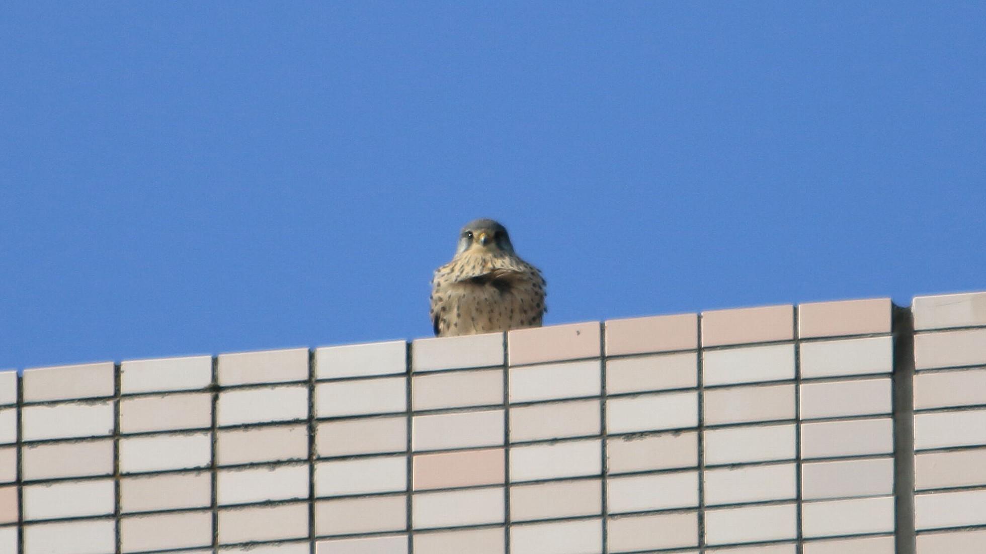 自宅マンション屋上で高みの見物のチョウゲンボウ雄_f0105570_18202701.jpg