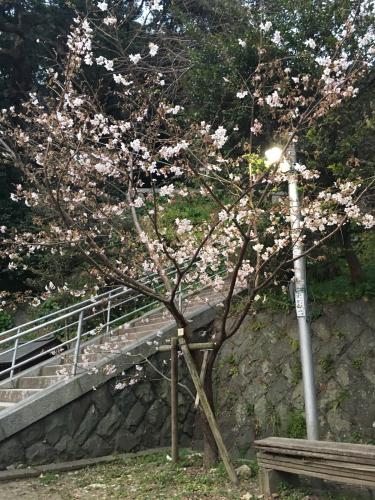 2019.02.25 定休日。甘縄さんの桜。_a0145471_18142286.jpg