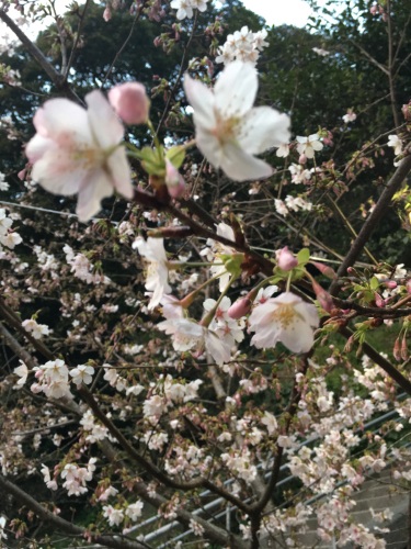 2019.02.25 定休日。甘縄さんの桜。_a0145471_18142634.jpg