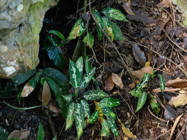 Aglaonema pictum from Tigalingga 【HW0219-01a】_a0067578_00210908.jpg