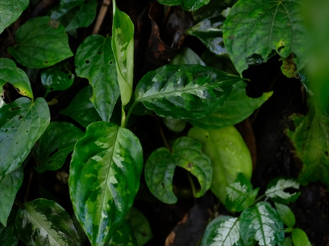 Aglaonema pictum from Tigalingga 【HW0219-01c】_a0067578_00332444.jpg