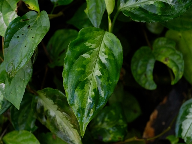 Aglaonema pictum from Tigalingga 【HW0219-01c】_a0067578_00333244.jpg