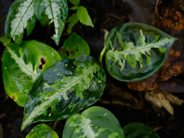 Aglaonema pictum from Tigalingga 【HW0219-01c】_a0067578_00334615.jpg