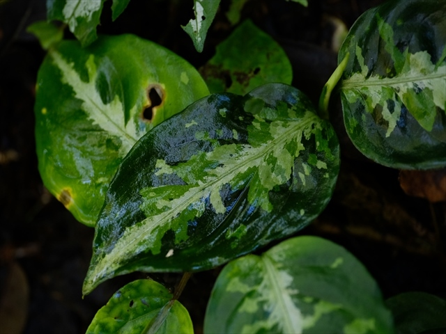 Aglaonema pictum from Tigalingga 【HW0219-01c】_a0067578_00340373.jpg