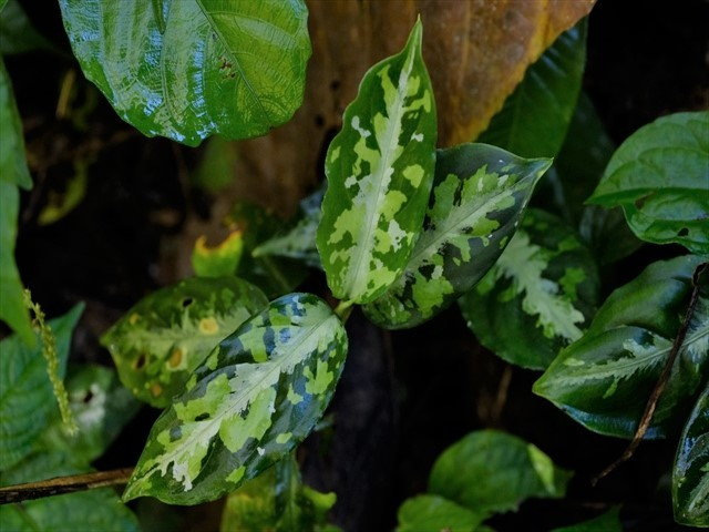 Aglaonema pictum from Tigalingga 【HW0219-01c】_a0067578_00344200.jpg