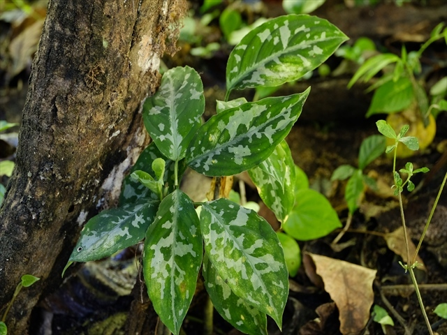 "Aglaonema pictum ""Ant Attack\"" from Tigalingga 【HW0219-01f】_a0067578_00470948.jpg"