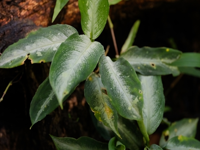 Aglaonema pictum from Tigalingga 【HW0219-01g】_a0067578_00511117.jpg