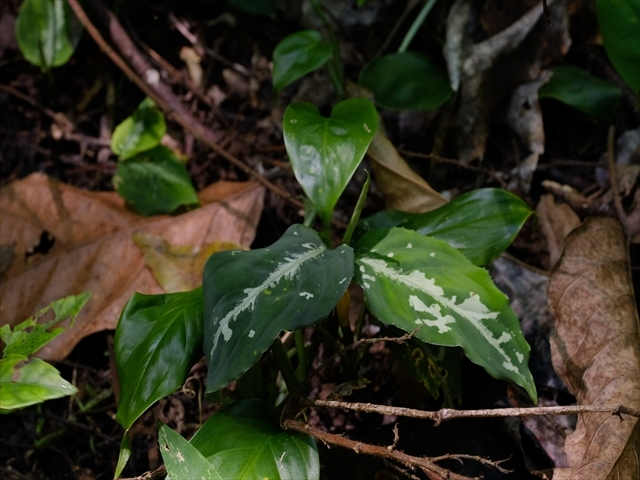 Aglaonema pictum from Tigalingga 【HW0219-02】_a0067578_11184338.jpg