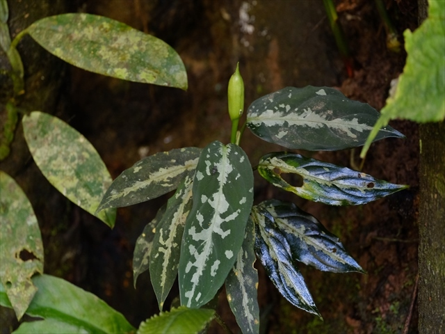 Aglaonema pictum from Tigalingga 【HW0219-02】_a0067578_11212251.jpg