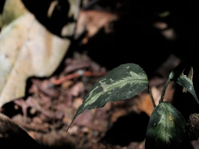 Aglaonema pictum from Tigalingga 【HW0219-02】_a0067578_11310626.jpg