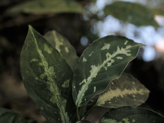Aglaonema pictum from Tigalingga 【HW0219-02】_a0067578_11412050.jpg