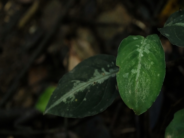 Aglaonema pictum from Tigalingga 【HW0219-02】_a0067578_11431855.jpg