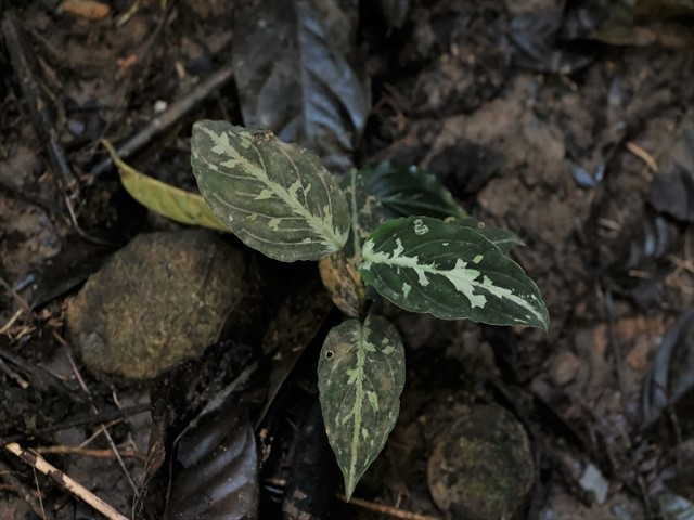 Aglaonema pictum from Tigalingga 【HW0219-02】_a0067578_11471914.jpg