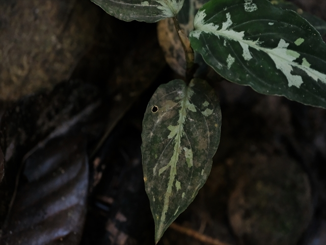 Aglaonema pictum from Tigalingga 【HW0219-02】_a0067578_11480627.jpg