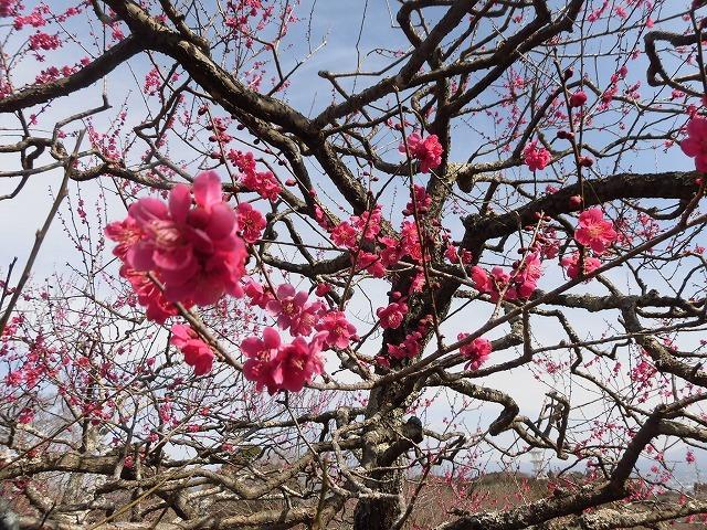 初めて参加し多くの人出に驚いた! 梅が盛りの岩本山公園での「第20回 岩松北地区 梅まつり」_f0141310_07520360.jpg