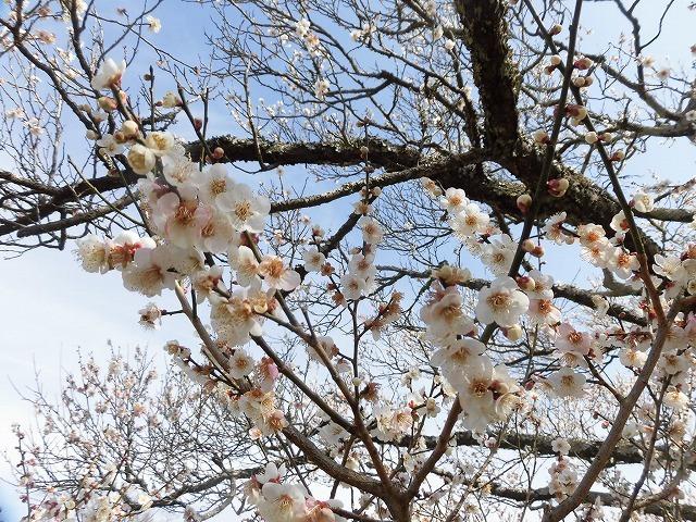 初めて参加し多くの人出に驚いた! 梅が盛りの岩本山公園での「第20回 岩松北地区 梅まつり」_f0141310_07521100.jpg
