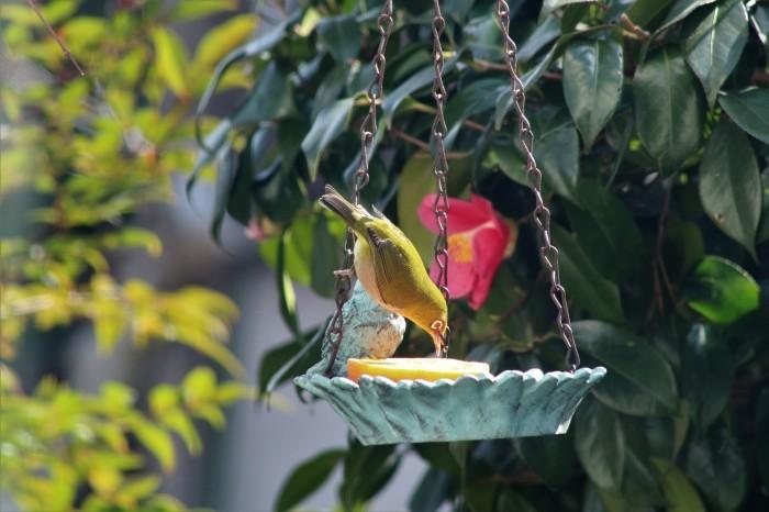 野鳥 メジロ_d0150720_17022380.jpg