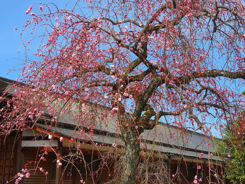 嵯峨野・嵐山の梅・桜20190224_e0237645_00362157.jpg