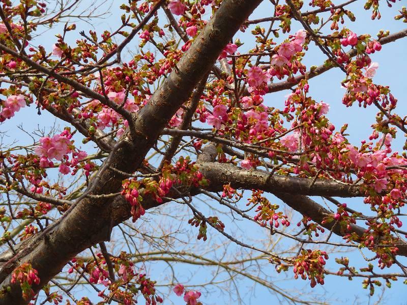 嵯峨野・嵐山の梅・桜20190224_e0237645_00362181.jpg