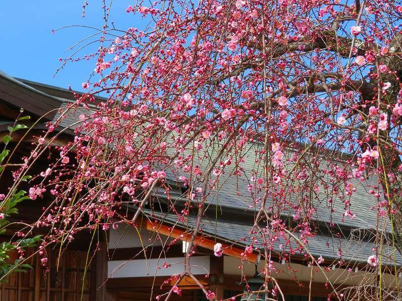 嵯峨野・嵐山の梅・桜20190224_e0237645_00362188.jpg