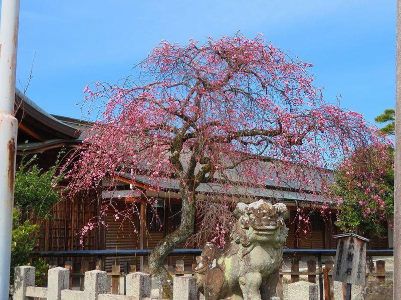 嵯峨野・嵐山の梅・桜20190224_e0237645_00362192.jpg