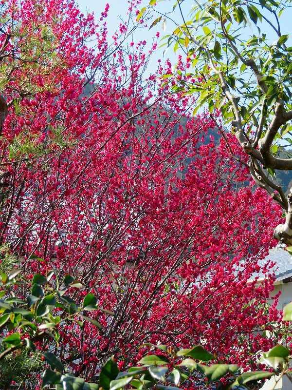 嵯峨野・嵐山の梅・桜20190224_e0237645_00362245.jpg
