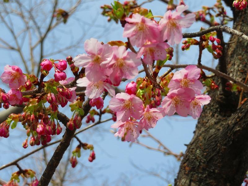 嵯峨野・嵐山の梅・桜20190224_e0237645_00362260.jpg