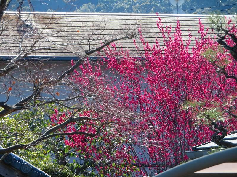 嵯峨野・嵐山の梅・桜20190224_e0237645_00362287.jpg